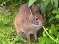 File:Leporidae - Sylvilagus palustris - Marsh rabbit.webm