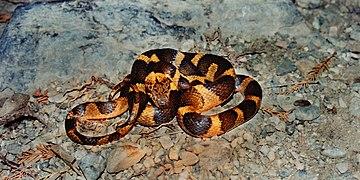 Leptodeira septentrionalis, Northern Cat-eyed Snake, Tamaulipas.jpg