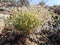 Lesquerella alpina (7275599034).jpg