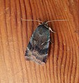 Lesser Broad-bordered Yellow Underwing (37788767775).jpg