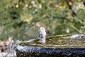 Leucistic Hummingbird (32816909738).jpg
