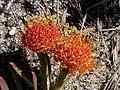Leucospermum prostratum Hangklip 02.jpg