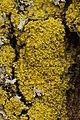 Lichen (41096805411).jpg