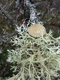 Lichene su ramo