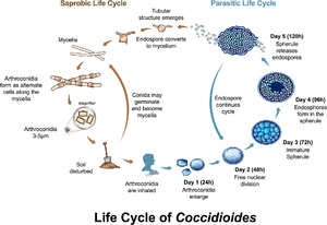 Coccidioides - Both Coccidioides species share the same asexual life cycle, switching between saprobic (on left) and parasitic (on right) life stages.