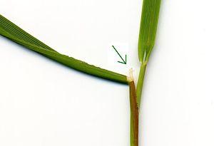 Ligule - Image: Ligula