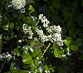Ligustrum jap Rotundifolium B.jpg