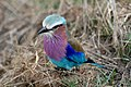 Lilac breasted roller 2474.JPG