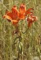 Lilium bulbiferum RF.jpg
