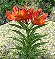 Lilium bulbiferum var croceum RF.jpg