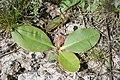 Limonium gmelinii - slatinski cvet - listovi.jpg