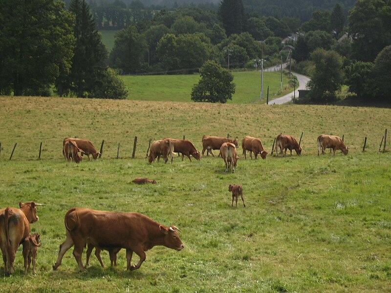 File:Limousin Cattle at Rempnat.JPG