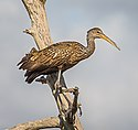 Limpkin on a Limb! (16361477159).jpg