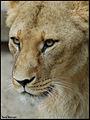 Lion (4065997046).jpg