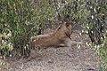 Lions of Masai Mara 08.jpg