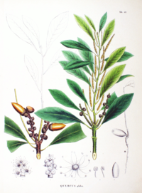 Lithocarpus glaber SZ89