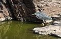 Little Heron (42373850352).jpg