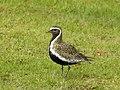 Ljungpipare European Golden Plover (20341896142).jpg