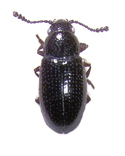 <i>Loberus</i> Genus of beetles