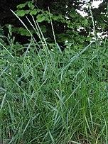 Mätonoh trváci (Lolium perenne)