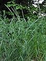 Lolium perenne Engels raaigras doorgeschoten plant.jpg