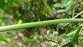 Lomatium triternatum var. anomalum 4.jpg