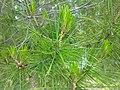 Lone Pine leaves.jpg