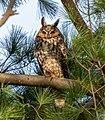 Long-eared owl in Central Park (50548).jpg