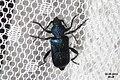 Longhorn beetle (NH266) (14503058014).jpg