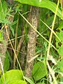 Lonicera xylosteum - tronc et écorce.JPG