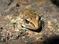 Looking into the eyes of a Southern Leopard Frog (Rana sphenocephala) - Flickr - GregTheBusker.jpg