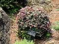 Loropetalum chinense var. rubrum - Kunming Botanical Garden - DSC03036.JPG