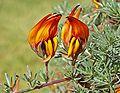 Lotus maculatus K3.jpg