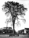 Lovers' Elm, Gwynne estate, Dufferin Street.jpg