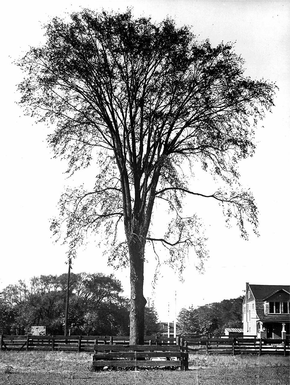 Lovers' Elm, Gwynne estate, Dufferin Street