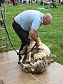 Lower Withington Rose Day - Sheep Shearing Demo - geograph.org.uk - 1392914.jpg