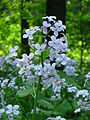 Lunaria annua flowers 01.JPG