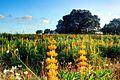 Lupine field.jpg