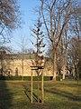 Luthereiche auf dem Neuen Annenfriedhof Winter (4).jpg