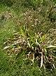 Luzula sylvatica-DS2.JPG