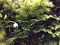 Luzuriaga parviflora Lantern Berry Taranaki.JPG