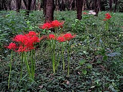 Lycoris radiata Higanbana in a woods.jpg