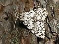 Lymantria monacha ♂ - Black arches (male) - Монашенка (самец) (40832623912).jpg
