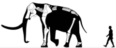 M. subplanifrons skeletal.png