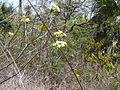 Macrosphyra longistyla 0018.jpg