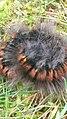 Macrothylacia rubi 99602253.jpg