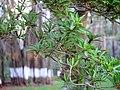 Madhuca longifolia var. longifolia (7087821917).jpg