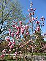 Magnolia (8707449652).jpg