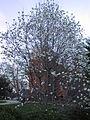 Magnolia tree 1.JPG