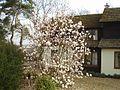 Magnolias - geograph.org.uk - 81243.jpg